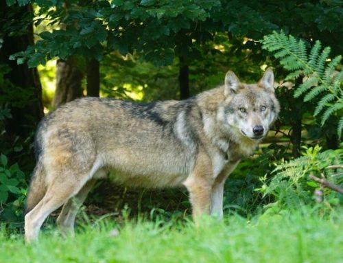 Wildökologische Raumplanung für Wölfe gefordert