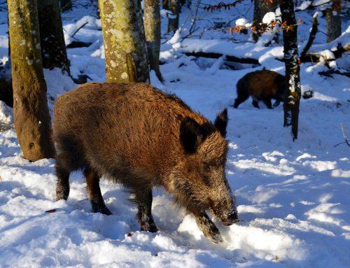 Presseinformation: Achtung: Afrikanische Schweinepest