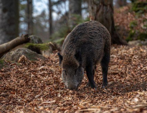 """""""JAGD ÖSTERREICH"""": Vorsicht bei Auslandsjagden – Afrikanische Schweinepest"""