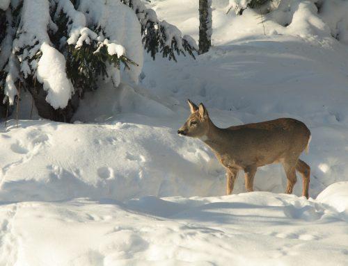 """""""JAGD ÖSTERREICH"""": Wildtiere brauchen Ruhe!"""