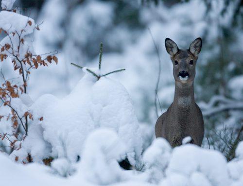 NÖ Jagdverband: Wildtiere reduzieren im Winter Energiehaushalt & benötigen Ruhe