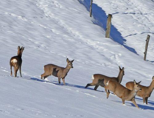 Notzeit für Österreichs Wildtiere: JAGD ÖSTERREICH appelliert zur Rücksichtnahme!